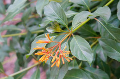 Closeup of firebush: shrub in florida Royalty Free Stock Images