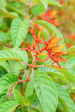 Closeup of firebush: shrub in florida Royalty Free Stock Photography