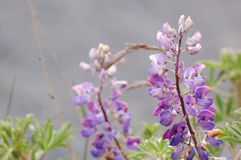 Closeup of Fireweed Plant royalty free stock images