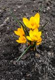 Closeup of the first spring flower - a small yellow crocus appeared out of the ground. The crocus looks very tender and delicate on the gray rough soil royalty free stock images