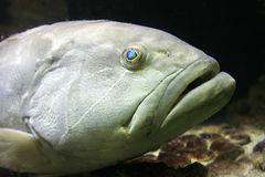 Closeup of a fish. Closeup of a white fish Royalty Free Stock Photo