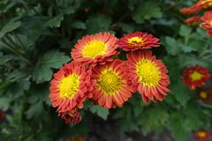 Closeup of five yellow and red Chrysanthemum flowers. Close up of five yellow and red Chrysanthemum flowers Royalty Free Stock Photography