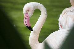 Closeup flamingo Royalty Free Stock Photo