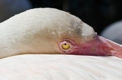 Closeup of a Flamingo Royalty Free Stock Image