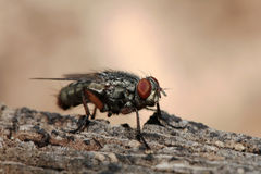 Closeup of a Flesh Fly Stock Image