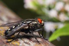 Closeup of flesh fly Royalty Free Stock Photo