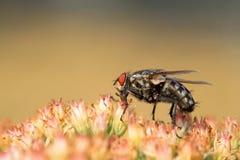 Closeup of flies. Closeup of diptera insects - flies stock photo