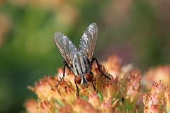 Closeup of flies Stock Images