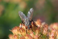 Closeup of flies. Closeup of diptera insects - flies stock images
