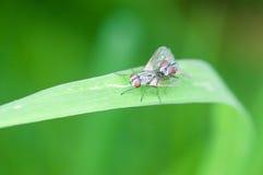 Closeup flies Royalty Free Stock Photography