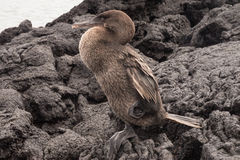 Closeup of a flightless cormorant against a wall of lava rocks. Selective focus on the bird, background is out of focus Royalty Free Stock Images