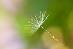 Closeup of a floating seed head Royalty Free Stock Photos