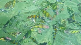 Closeup Flock of Stripy Fish in Transparent Azure Water. Closeup flock of small striped fish in shallow transparent azure ocean water with gleams under bright stock video