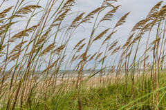 Closeup of Florida Sea Oats on the Atlantic. A closeup photo of Florida sea oats with the Atlantic Ocean coastline in the background royalty free stock image