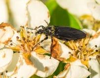 Closeup of flower beetle Stock Photos