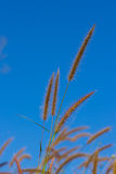 Closeup flower grass on blue sky Royalty Free Stock Photos