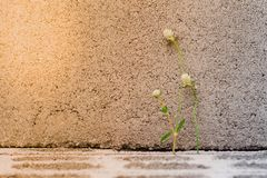 Closeup flower grass on the cement brick with sunlight and blurred background in gray royalty free stock photos