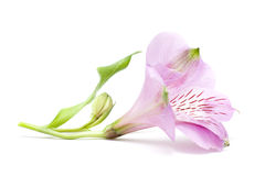 Closeup Flower Isolated Royalty Free Stock Photography