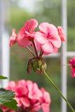 Closeup of Flower of Light Pink Pelargonium Hortorum Zonal.  Royalty Free Stock Photos