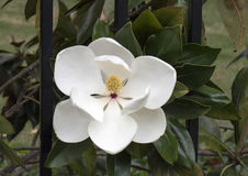 Closeup of flower of the Magnolia grandiflora tree. Pictured is one of the wide, large, white and fragrant flowers of the Magnolia grandiflora, a striking Stock Images