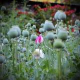 Closeup of flower opium poppy Stock Photography