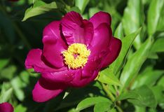 Closeup of flower with purple petals and yellow stamens royalty free stock images