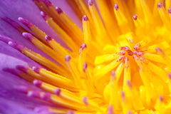 Closeup on flower of the water lily Stock Image