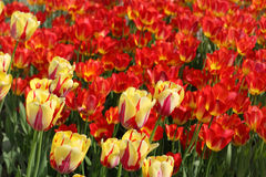 Closeup of flowerbed with bright beautiful tulips Stock Image