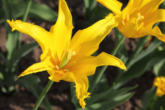 Closeup of flowerbed with bright yellow tulip Royalty Free Stock Images