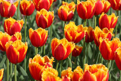Closeup of flowerbed with orange and yellow tulip Royalty Free Stock Photo