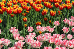 Closeup of flowerbed with pink and orange tulip Royalty Free Stock Images