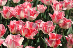 Closeup of flowerbed with pink tulips Stock Images