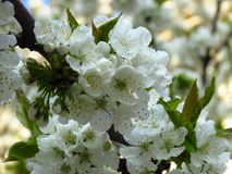 A closeup flowering blooming cherry tree branch on blurred white blossom background. cherry tree white blossom and green leaves. stock photo
