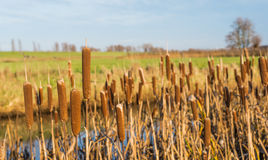 Closeup of flowering Common Bulrush next to a ditch Stock Image