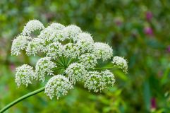 Closeup of flowering Common Hogweed. Against a blurred natural background Royalty Free Stock Image