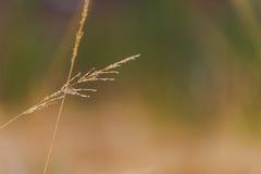 Closeup of flowering gras. Stock Photos
