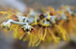 Closeup of Flowering Jelena Witch Hazel Stock Photo