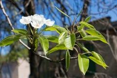 Closeup of flowering pear branch in spring. Close up of flowering pear branch in spring Stock Photos