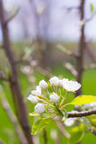 Closeup of a Flowering Plum Tree Royalty Free Stock Image
