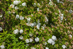 Closeup of flowering shrub bridal wreath spirea, floral backgrou Royalty Free Stock Photos