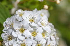 Closeup of flowering shrub bridal wreath spirea, floral backgrou. Nd Royalty Free Stock Images