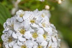 Closeup of flowering shrub bridal wreath spirea, floral backgrou Royalty Free Stock Images