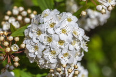 Closeup of flowering shrub bridal wreath spirea, floral backgrou Royalty Free Stock Image