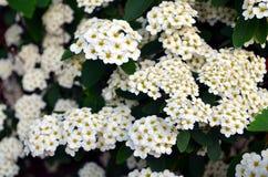 Closeup of flowering shrub bridal wreath Royalty Free Stock Photos