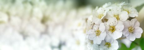 Closeup of flowering shrub bridal wreath spirea floral background. Dewy flowering shrub bridal wreath spirea, floral background.Spirea bushes bloom in the stock photography