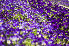 Closeup of flowering, spring, garden purple violets, background. Stock Photography
