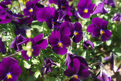 Closeup of flowering, spring, garden purple violets, background, Stock Photography