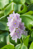 Closeup of Flowering Water Hyacinth (Eichhornia crassipes) Stock Photo