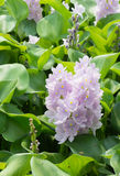 Closeup of Flowering Water Hyacinth (Eichhornia crassipes) Royalty Free Stock Photo