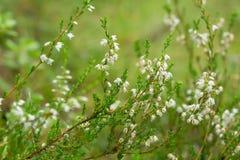 Flowering white heather, Calluna vulgaris plants. Closeup of flowering white heather, Calluna vulgaris plants Royalty Free Stock Photos